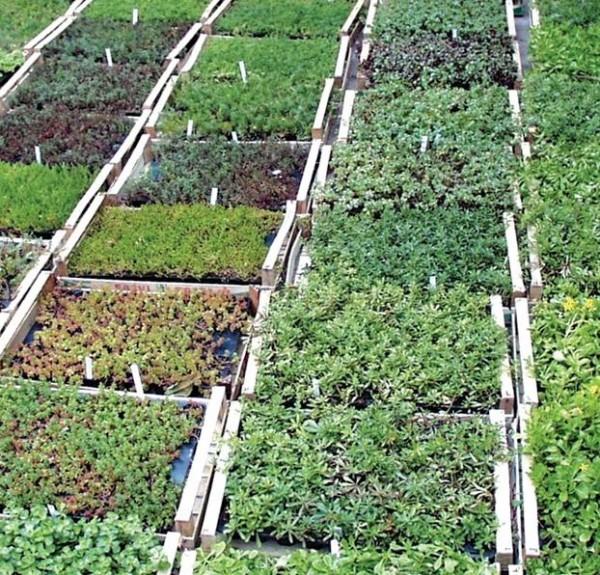 Sedum - Flachballenpflanzen