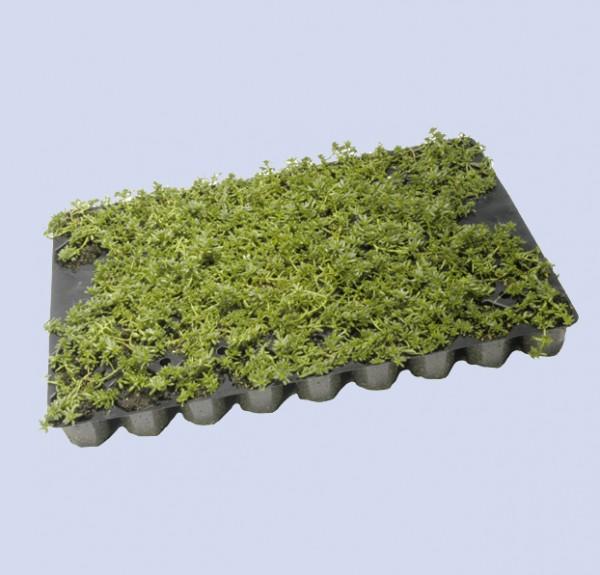 Sedum - Flachballenpflanzen 50 Stk/Platte